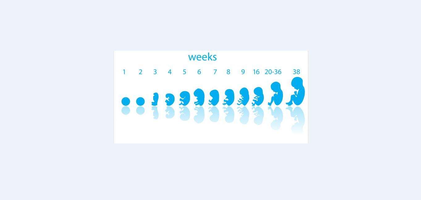 ما هي مراحل نمو الجنين