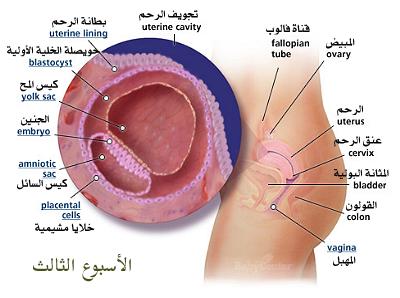 مراحل تكوين الجنين من أول يوم