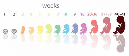 مراحل تكوين الجنين