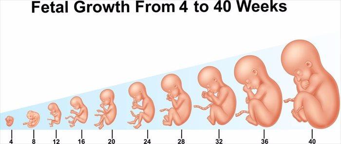 تطور الجنين